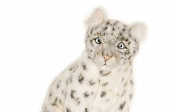 Snow Leopard Cub Sitting
