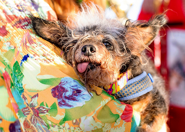 World's Ugliest Dog 2019 Revealed See Photo Of Scamp The Tramp